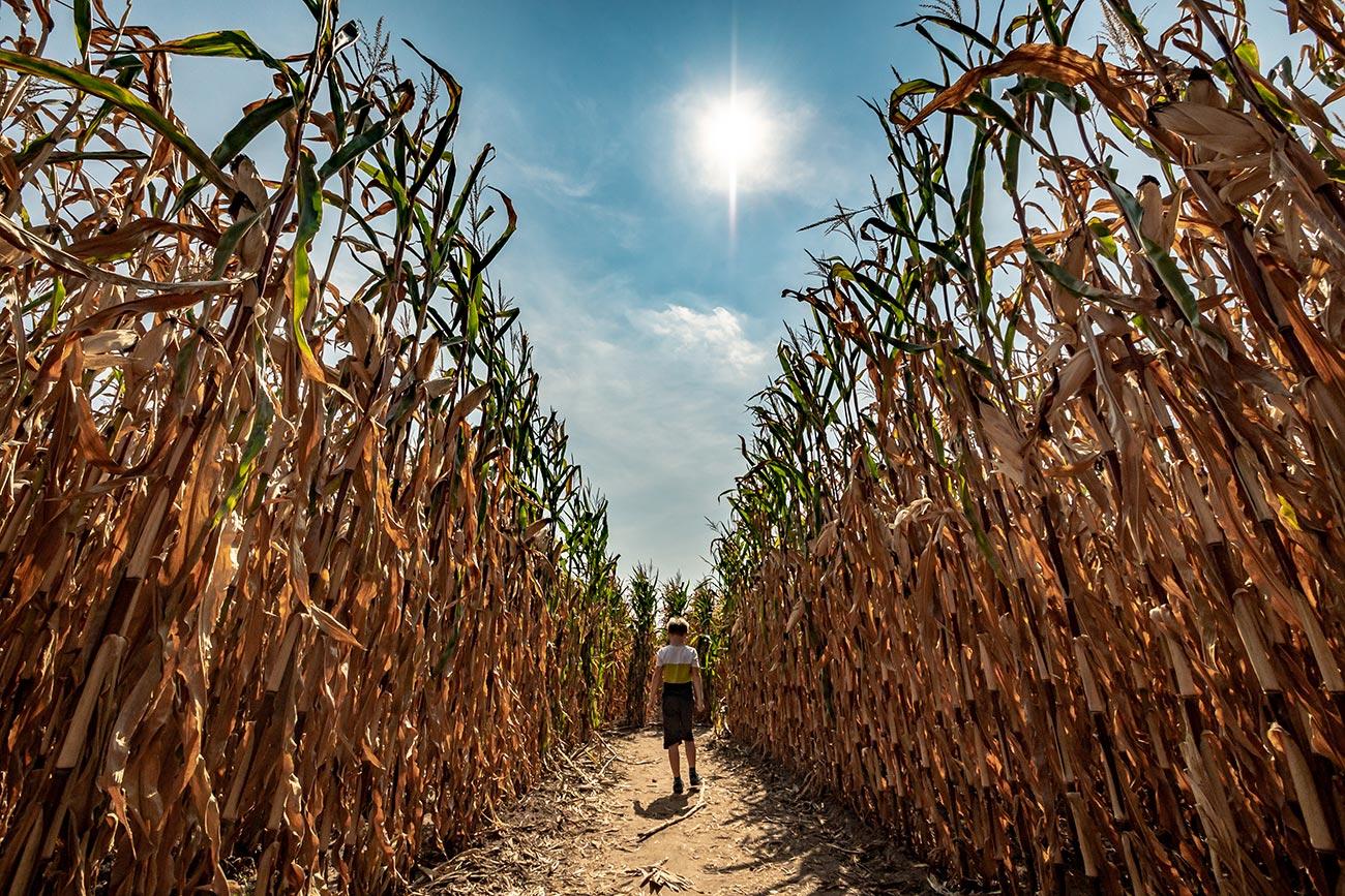 Maislabyrinth in Herten - Bauer Südfeld hat uns ganz schön in die Irre geführt.